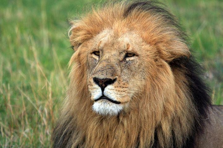Masai Mara Lion Portrait - Aidan Moran Photography