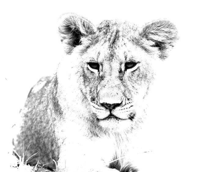 African Lion - Aidan Moran Photography