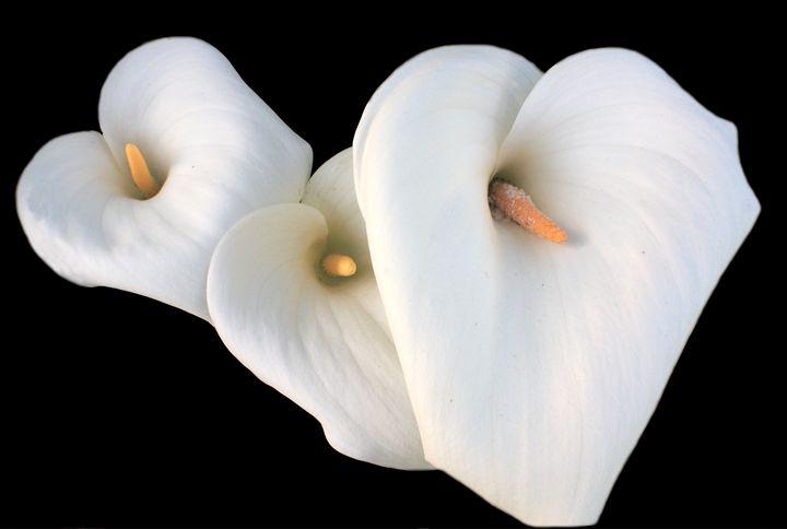 Three Lilies - Aidan Moran Photography