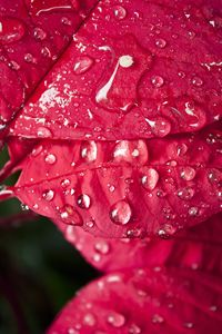 Rain on Pointsettia