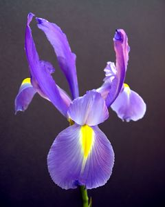 Iris Abstract One