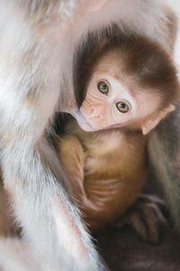 Monkey cub feeding on its mother`s b