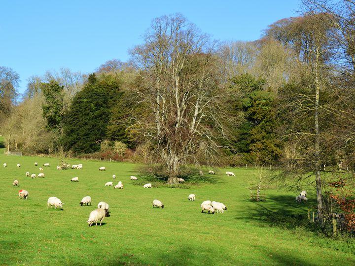 Flock of sheep - Helen A. Lisher