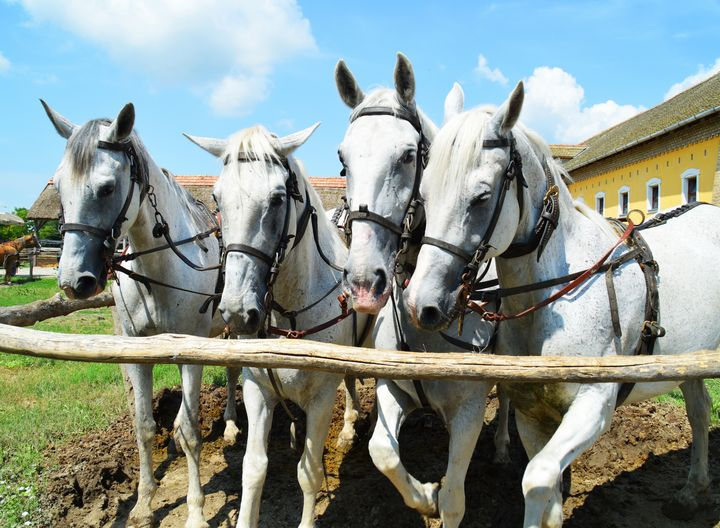 Beautiful horses - Helen A. Lisher