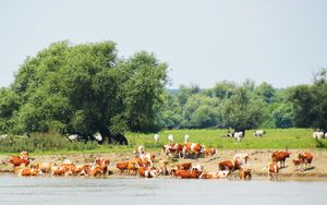 Cattle and the River Danube - Helen A. Lisher