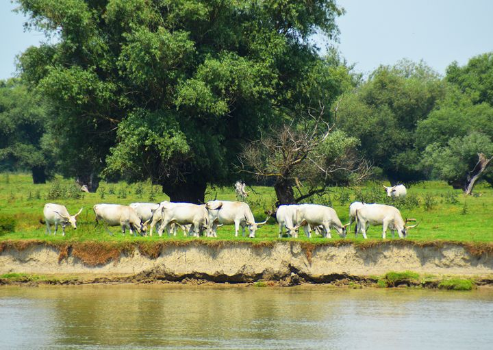 White cattle and the river Danube - Helen A. Lisher