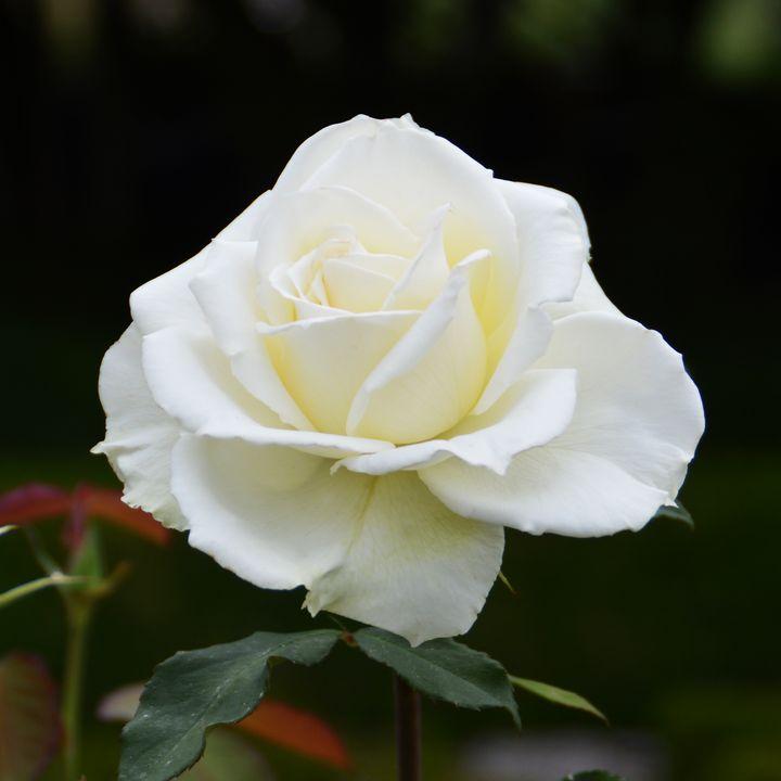 Beautiful white rose - Helen A. Lisher