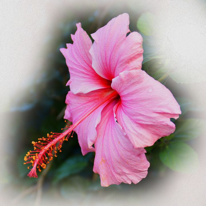 Pink Hibiscus - Helen A. Lisher