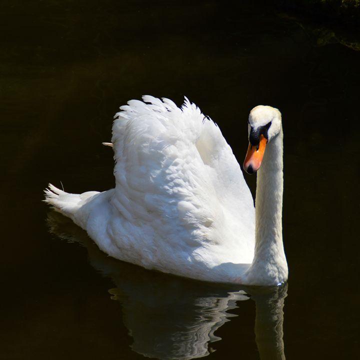 White swan - Helen A. Lisher