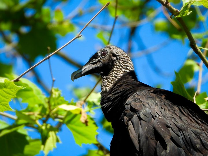 Black Vulture - Larry D. Lefler