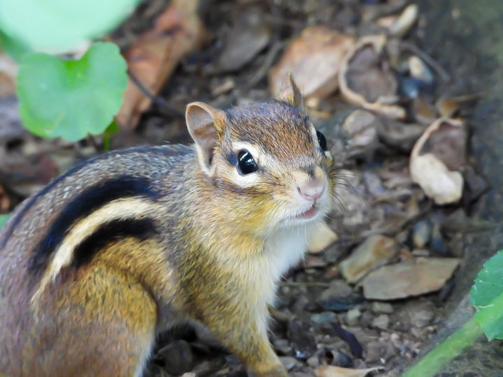Chipmunk - Larry D. Lefler
