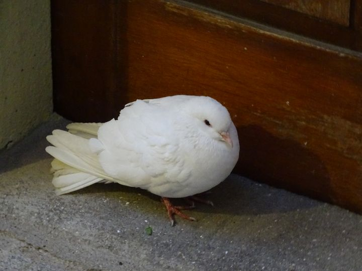 White pigeon - Ember