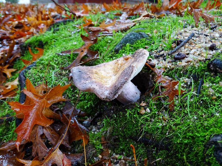Daytime mushroom - Ember