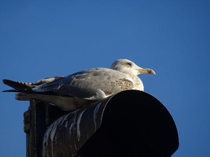 Seagull - Ember