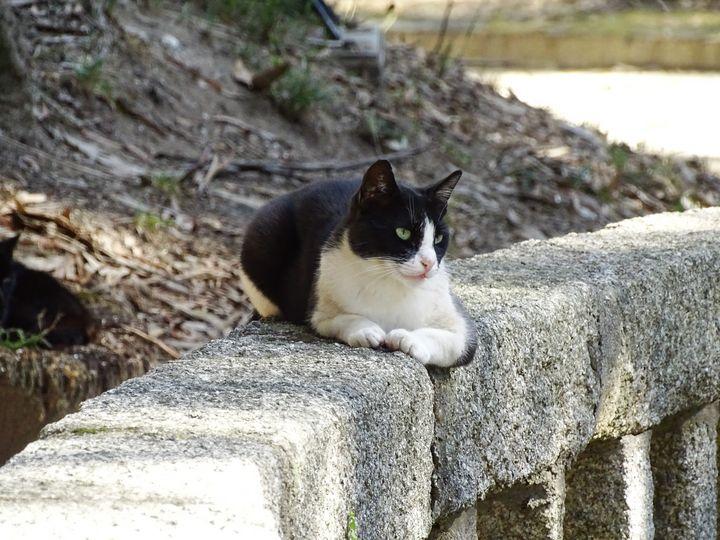 Black and White stray cat - Ember