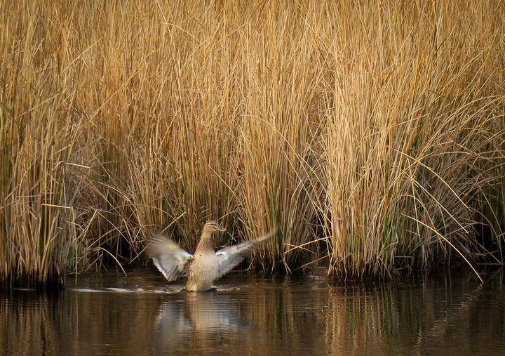 Duck in Marsh Grass - Creative Artistry by Janice Solomon
