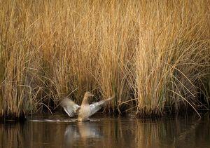 Duck in Marsh Grass