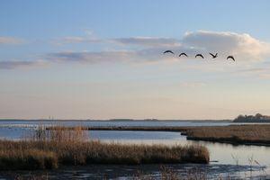 Geese in Flight Over Marsh