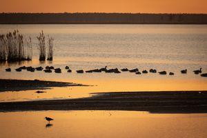 Sandpiper and Ducks in Golden Sunset
