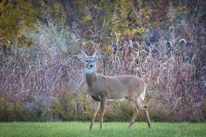 Buck With Fall Foliage