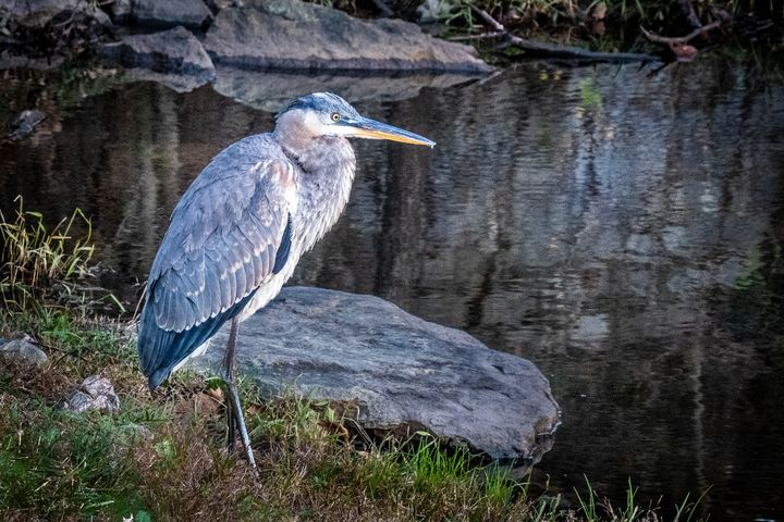 Great Blue Heron at Pond - Creative Artistry by Janice Solomon