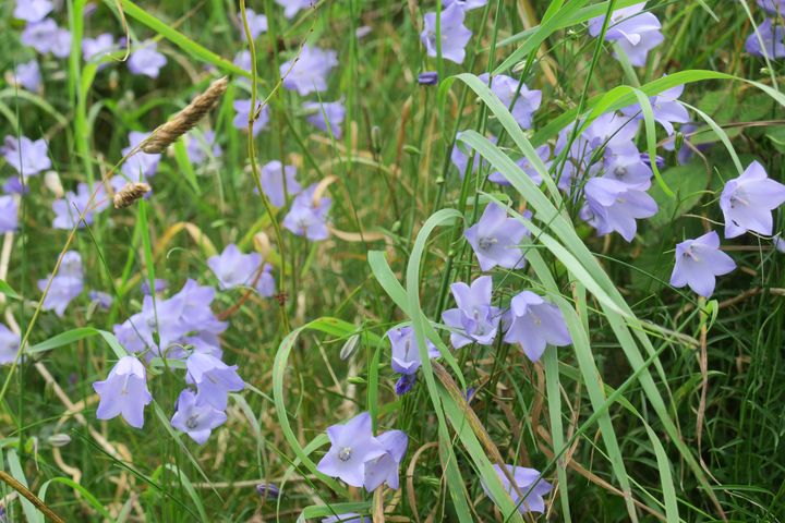Irish blue harebell flowers - Creative Artistry by Janice Solomon