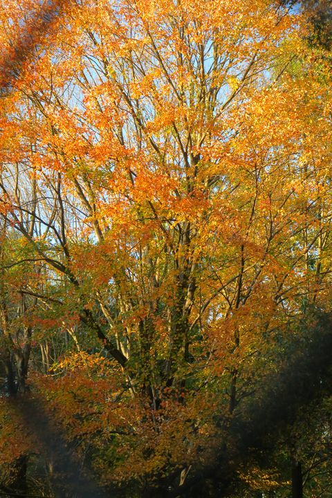 Golden tree of autumn - Creative Artistry by Janice Solomon
