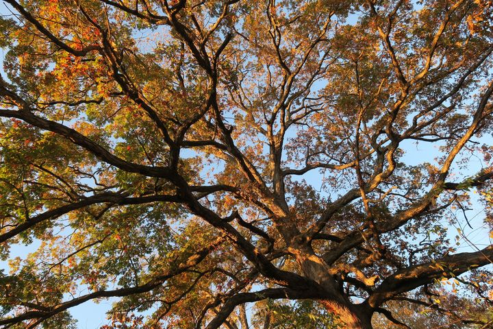 Old oak tree in autumn - Creative Artistry by Janice Solomon