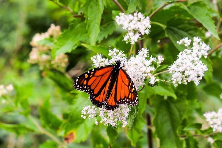 Monarch butterfly on white flowers - Creative Artistry by Janice Solomon