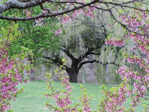 Pink flowering tree and cherry tree