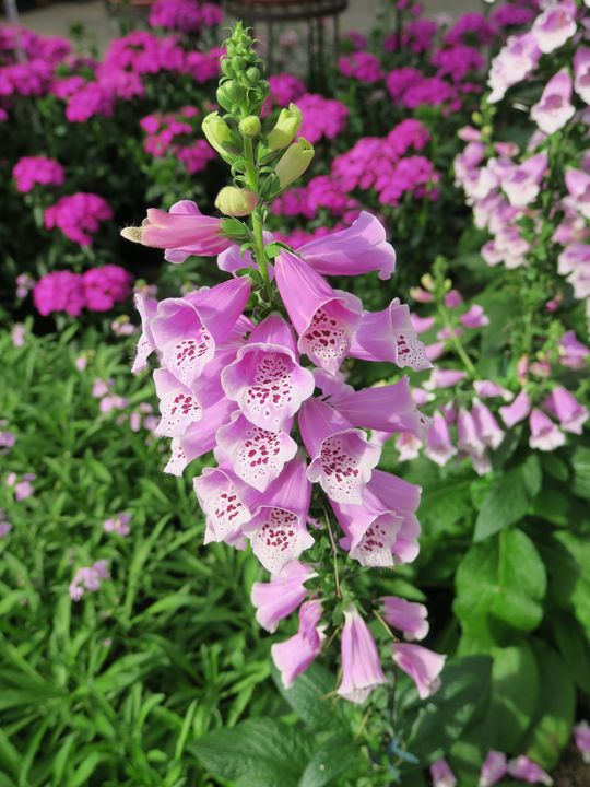 Bright purple or pink foxglove - Creative Artistry by Janice Solomon