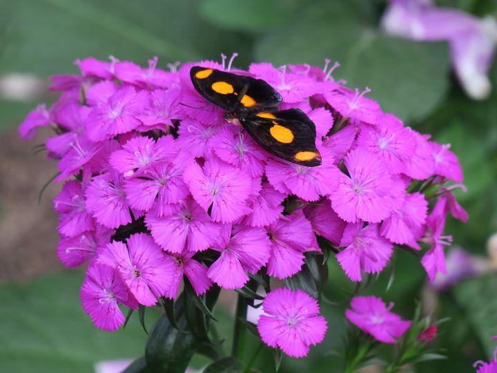 Butterfly on Sweet William flowers - Creative Artistry by Janice Solomon