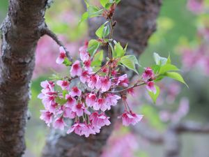 Hot pink cherry blossoms
