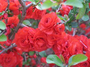 Red rosebush