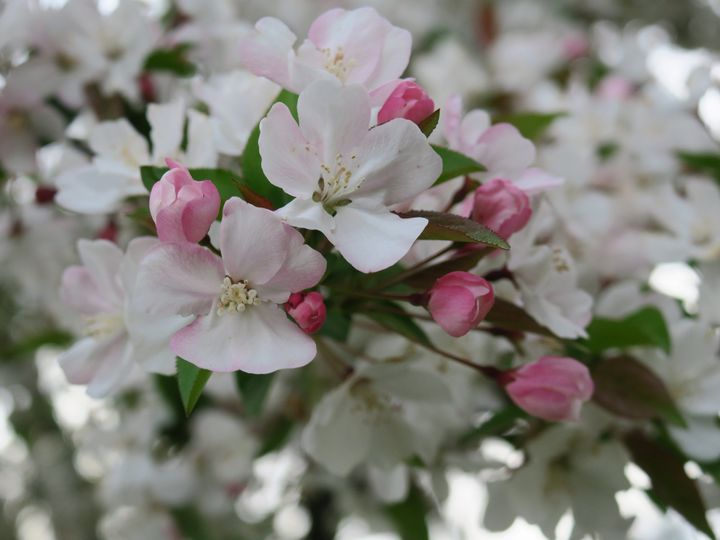 Pink cherry blossoms and buds - Creative Artistry by Janice Solomon