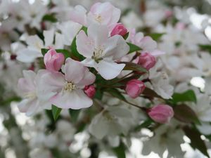 Pink cherry blossoms and buds
