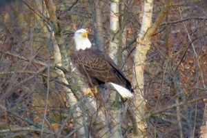 Bald Eagle Perched on Branch