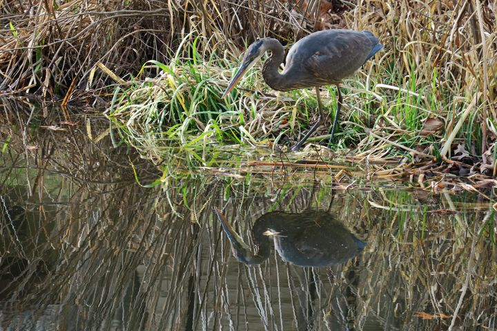 Great blue heron ready to pounce - Creative Artistry by Janice Solomon