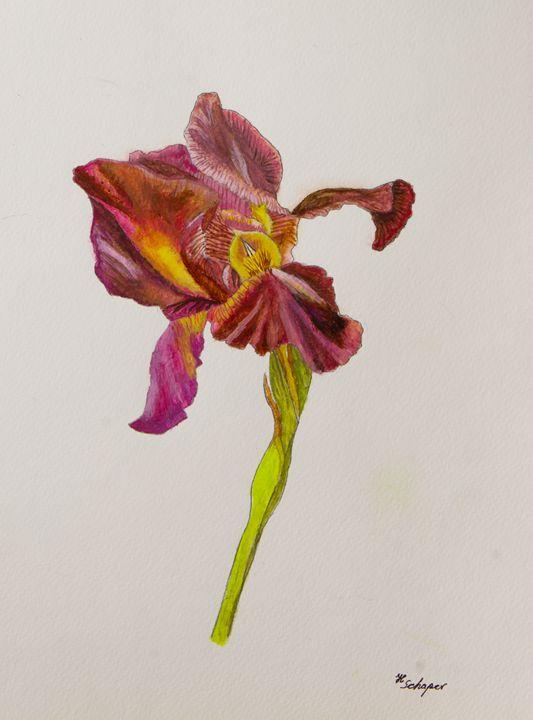 Iris 2 - Schaper's Gallery