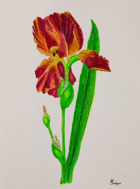 Iris - Schaper's Gallery
