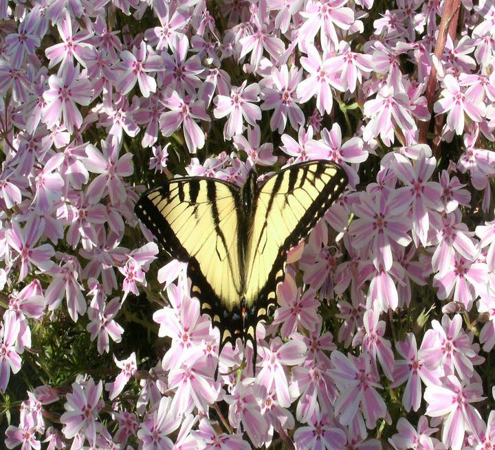 Tiger swallowtail - ART