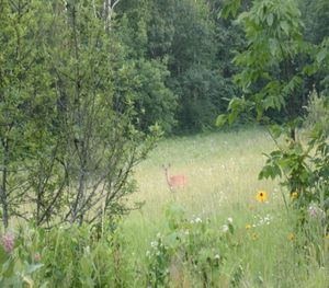 Doe in a field