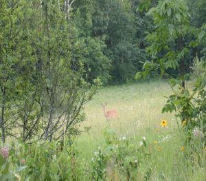 Doe in a field