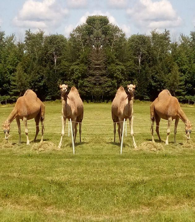 Camels - ART