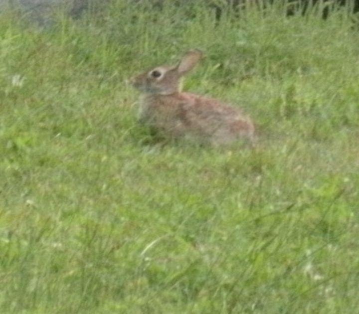 Rabbit - ART