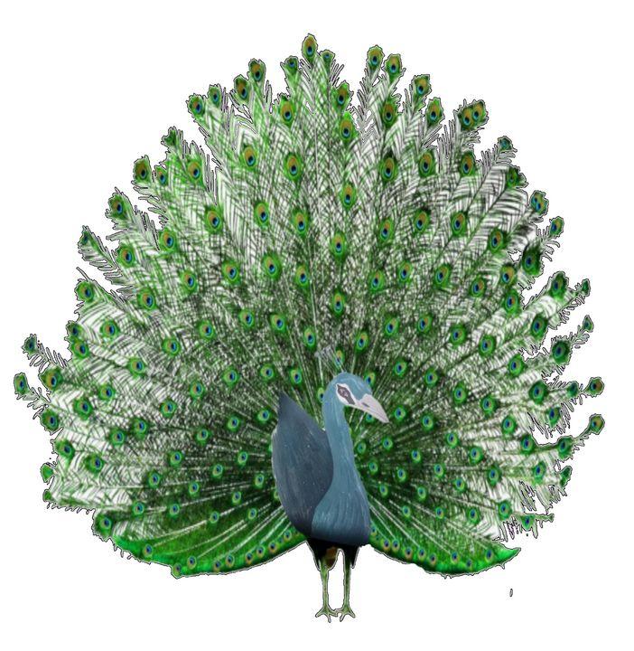 Peacock - ART