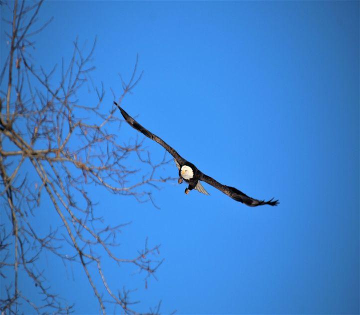 Eagle in flight - ART