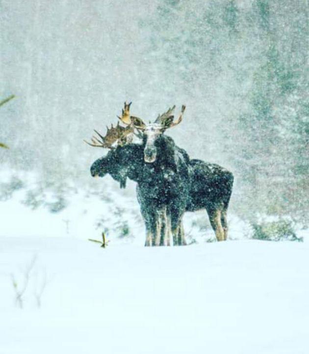 Bull moose - ART