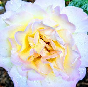 Rose Detail 2