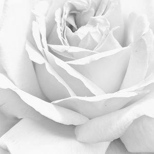 Rose detail B/W 2